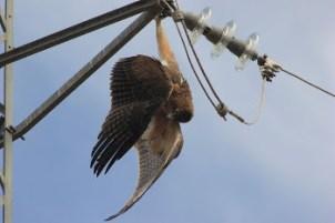 Un águila perdicera electrocutada cuelga del apoyo de un tendido eléctrico. Foto: SIECE.