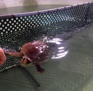 Tortuga en la piscina del hospital recuperándose