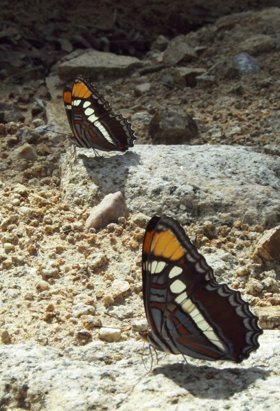 Synchronized Butterflies