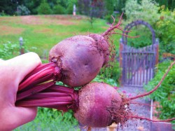 Small Of When To Harvest Beets