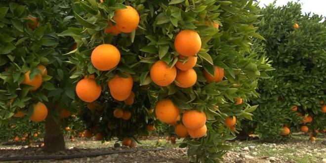 Agrumiculture: La profession dresse un plan de redressement