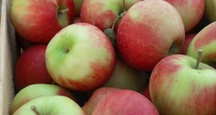 Drâa-Tafilalet : La production de pommes baisse en 2016