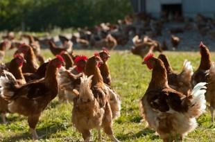 La FISA rassure les consommateurs de poulets et volailles
