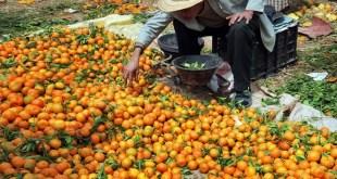 La qualité des agrumes vendus sur le marché local laisse à désirer