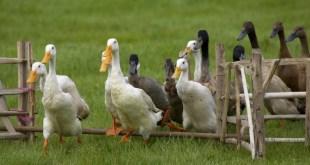 France: Un cas de grippe aviaire entraîne l'abattage de 2.500 canards