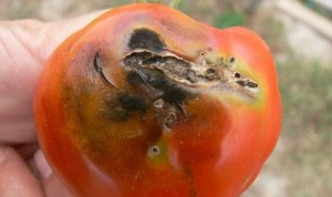 dégats-tuta-absoluta-tomate