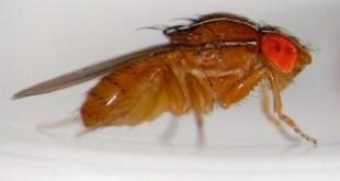 Le duo Drosophila suzukii et Drosophila melanganogaster serait la cause de la pourriture acide de la vigne.