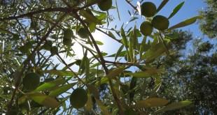 Rosacées fruitières et huile d'olive, avenir de Fès-Meknès