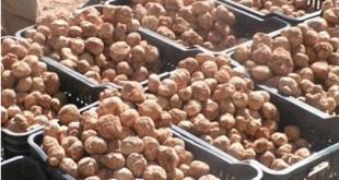 Connaissez vous la truffe blanche du désert ?