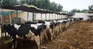 Fièvre aphteuse: vaccination d'environ 60% des bovins au niveau national