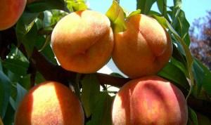 peach-863349_640