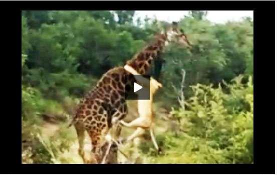 فيديو أسد يقفز على زرافة ليفترسها من رقبتها ويسقطها أرضاً