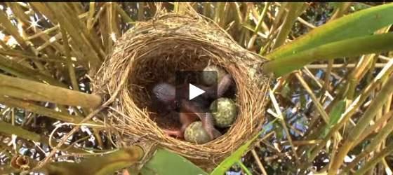 بالفيديو طائر الوقواق الأناني