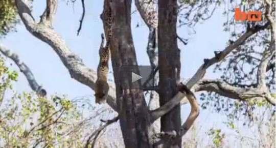 فيديو فهد ينصب كمين لقطيع غزلان من فوق شجرة