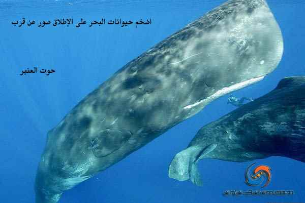 حوت العنبر اضخم حيوانات البحر على الإطلاق صور عن قرب
