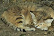 قط الرمال العربي النادر يظهر من جديد صور وفيديو جميلة لـ هر الرمال