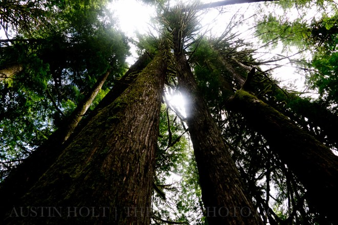 Looking up into the canopy of an old growth forest on the McKenzie River Trail in Oregon.