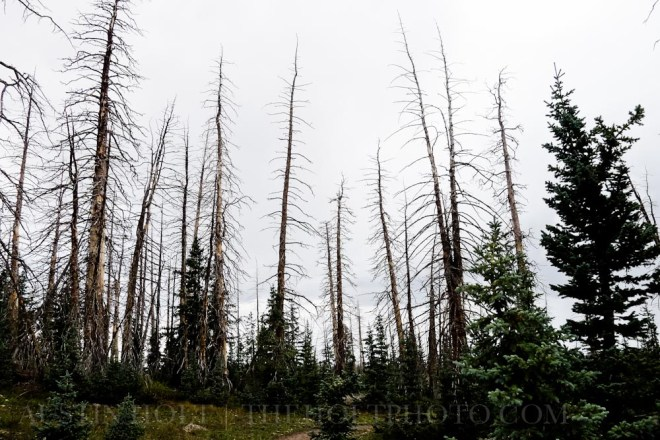 Trees against the sky on an overcast day in the forest in Brian Head, Utah