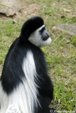 Black-and-white colobus monkey - Kenya - Various monkeys were often found around our camping sites and if you weren't on the ball, they would soon have your lunch