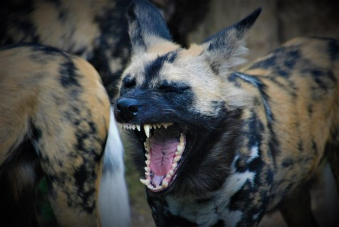 An African Wild Dog shows off it's teeth in London Zoo | London, UK