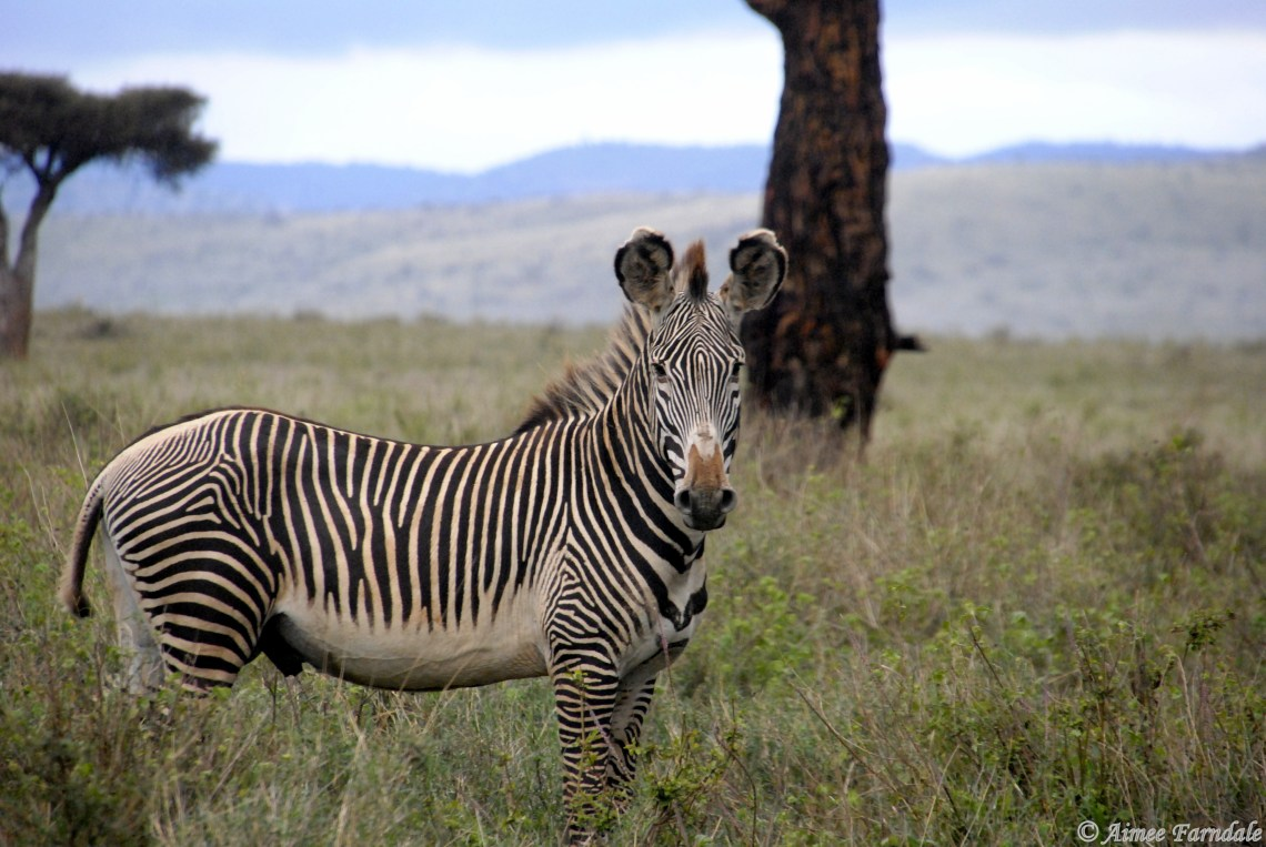Grevy's Zebra - Northern Kenya - A male Grevy's zebra is on high alert