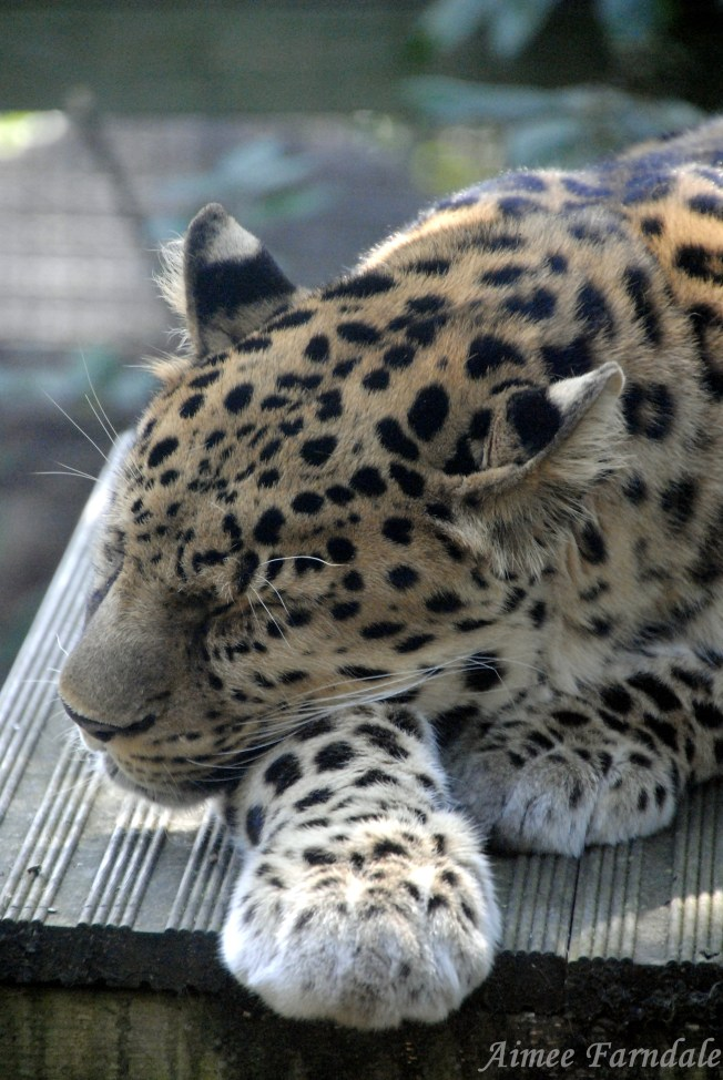 Marwell Wildlife's Amur leopard, Akin, rests in a patch of sunshine   Hampshire, UK