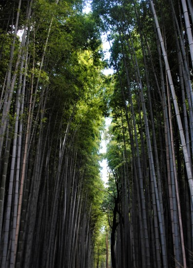 The towering stalks on Sagono Bamboo Forest   Kyoto, Japan