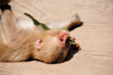 A young Japanese Macaque finds a toy in some pulled up flowers | Nagano, Japan