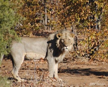 A male lion emerges from the bush meters from the game truck   Tuli, Botswana