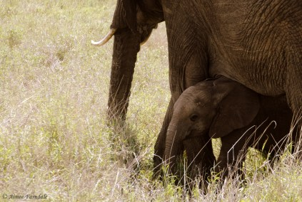A young elephant shelters under it's mothers leg   Kenya
