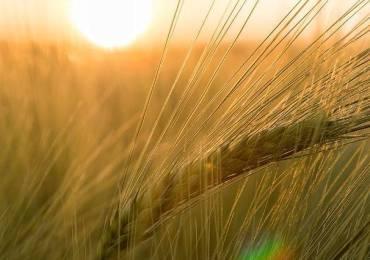 barley-811340_640