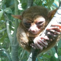 Picture Taking With Bohol Tarsier