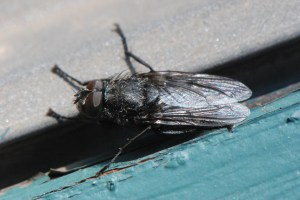 A male cluster fly suns on the siding of the Kenai National Wildlife Refuge headquarters building, March 23, 2015 (http://bit.ly/1IFhfuB).