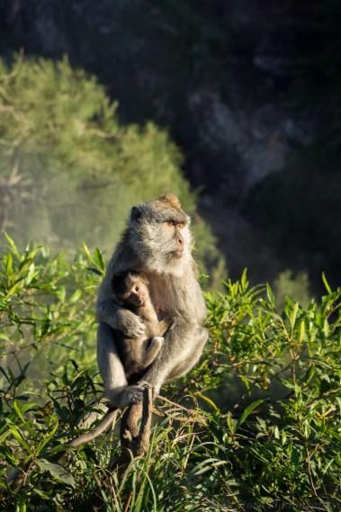 Mount Batur monkeys