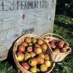 Fermor apples