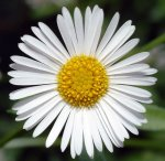 Erigeron karvinskianus