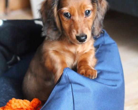 Meet Chip, our Dachshund Puppy