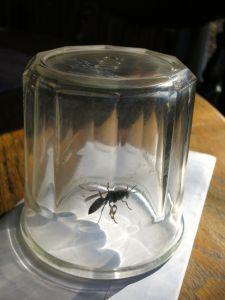 wasp in jar