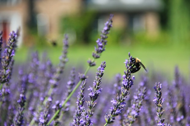 Happy bees from when I went lavender harvesting.
