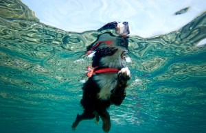 The best swimming dog breeds