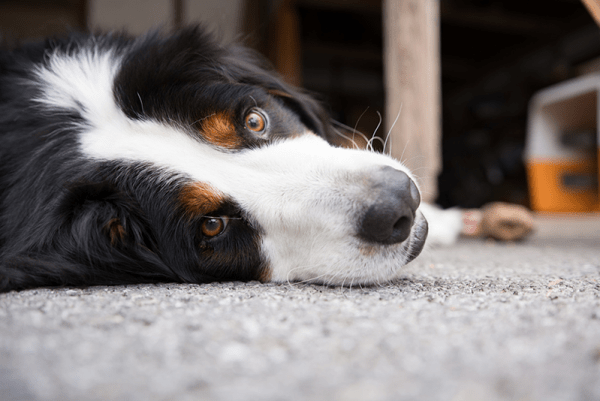 Upset stomach remedies for dogs