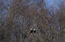 hayes-bald-eagles