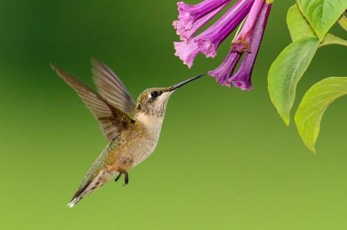 Medium Of When To Stop Feeding Hummingbirds