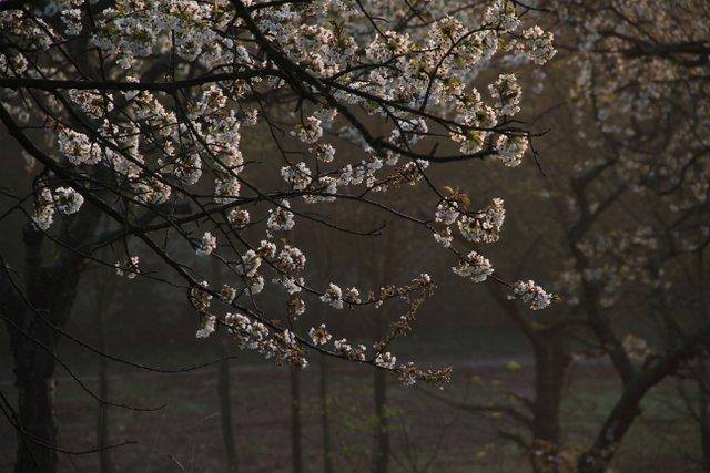Cherry Blossoms, Slovakia - Almost Bananas