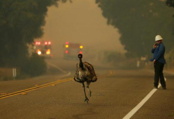 نعام هربت من حرائق كاليفورنيا