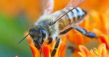 دراسة: سم النحل يمكن أن يكون مفتاحا لعلاج السرطان