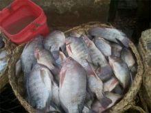 أسعار الأسماك يوم الخميس 6 نوفمبر 2014 في السوق