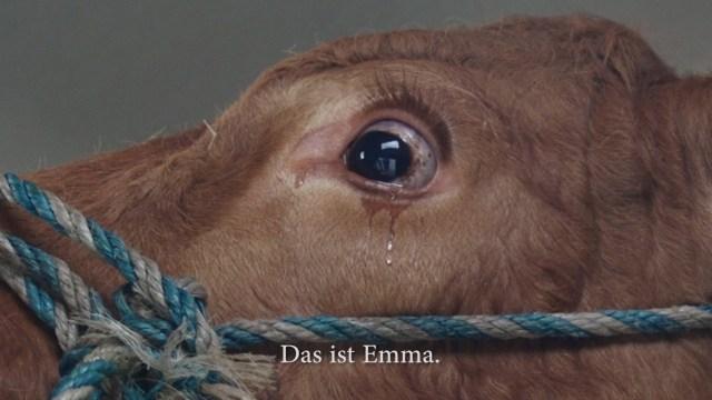 بكاء بقرة
