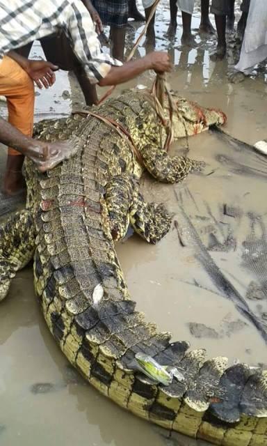 تمساح1