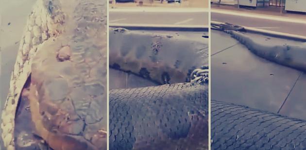 أكبر ثعبان في العالم